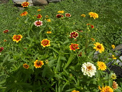 Persian Carpet Zinnias (MadKnits) Tags: garden green summer july plant plants growing zinnia persiancarpetzinnia