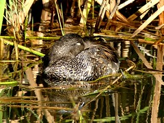sleeping Gadwall m 27.8.18 (ericy202) Tags: gadwall duck male water