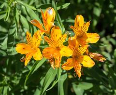 Tiger lilies (ewan.osullivan) Tags: flower tigerlily liliumlancifolium cotehele cornwall