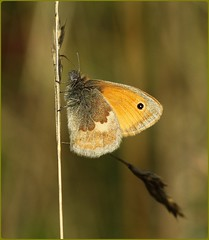 Small Heath - Aggs Hill (glostopcat) Tags: smallheathbutterfly butterfly insect invertebrate glos macro august summer aggshill