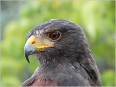 Il falco.. (antonè) Tags: falco rapace ritratto sassari sardegna antonè becco piume occhio hawk faucon halcón spriveri hebog γεράκι accipiter aboodiga habicht héja