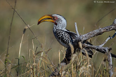Yellow-billed Hornbill (leendert3) Tags: leonmolenaar southafrica krugernationalpark wildlife nature birds yellowbilledhornbill ngc npc