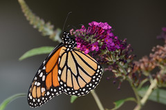 Monarch (JDA-Wildlife) Tags: butterfliesetc nikon nikond7100 tamronsp150600mmf563divc jdawildlife johnny closeup butterfly butterflymonarch monarch gorgeous