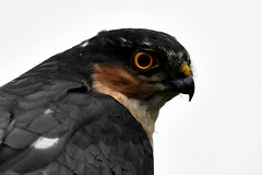 Sparrowhawk portrait on a grey day (karen leah) Tags: bird wildlife nature outdoors martonheath september sparrowhawk