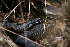_DSC0163 (coppis) Tags: europeanadder serpent snake viper adder viperaberus spring
