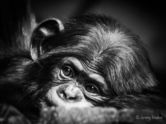 Youngster (JKmedia) Tags: chimpanzee chimp ape monkey boultonphotography 2018 chesterzoo primate 15challengeswinner