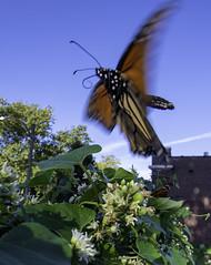 MonarchButterfly_SAF5316 (sara97) Tags: danausplexippus butterfly copyright©2018saraannefinke endangered insect milkweedbutterfly missouri monarch monarchbutterfly photobysaraannefinke pollinator saintlouis flight inflight
