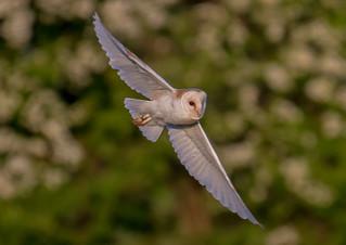 DSC5432  Barn Owl..