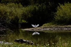 AaaaaaAAAaaaaAAAAAAaaaaaa! (Chamblin1) Tags: snowywhiteegret lakeinlet bird wildlife latesummer colorado