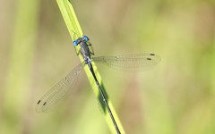 (amy20079) Tags: nikond5100 blueeyes copper grass outdoors maine newengland macro blade nature damselfly odonata bug