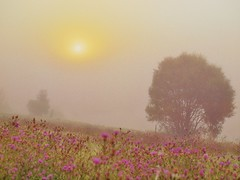 MISTYSUNRISE IM AUGUST_8287085 (hans 1960) Tags: mist misty nebel sun sunrise sonne sol soleil tree wiese blumen flower farben colour summer autum licht light nature landschaft landscape germany