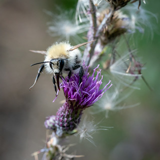 Greyish white bumblebee / Grauweisse Hummel [Bombus mucidus]