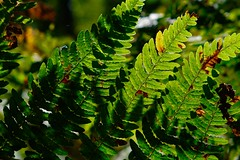 Light and shadow. (ClaDae) Tags: light green shadow varen fern plant outdoor