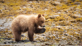Grizzly bear cub eating a clam in Khutzeymateen British Columbia