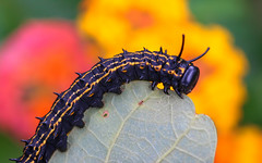 Spikes & Stripes (dianne_stankiewicz) Tags: caterpillar spikes striped spikesstripes nature wildlife flowers leaf
