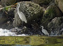 Snowy Egret and Great Egret. It's that a mini me? (Estrada77) Tags: snowyegret egrets greategret water wildlife summer2018 sep2018 foxriver kanecounty outdoors nikon nikond500200500mm nature birds birding