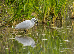 Little Egret Lackford Lakes (ian._harris) Tags: bird colours d750 flickr lackford life naturaleza natural nature naturephotography nikon sigma summer sunny september wildlife animals