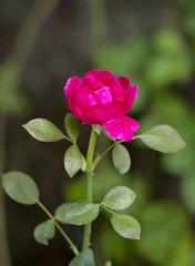 One Love (s.d.sea) Tags: flower flowers floral petals blossom bloom macro pentax k5iis pnw pacificnorthwest washingtonstate washington issaquah klahanie garden grow summer