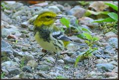 P1390376  Black-throated Green Warbler (felicitydawn) Tags: warbler