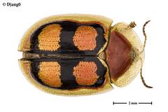 Aspidimorpha rainori (D j a n g O) Tags: macro focusstacking extrememacro insect insecte beetle coleoptera cassidinae chrysomelidae aspidimorpha rainori benin studio led componon componon50mm