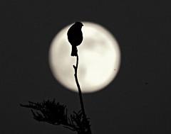 Moonlit Bird! ('cosmicgirl1960' NEW CANON CAMERA) Tags: llandudno westshore cymru wales gwynedd eryri snowdonia nature yabbadabbadoo