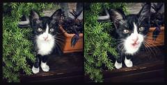 Play with me (Melissa Maples) Tags: antalya turkey türkiye asia 土耳其 apple iphone iphonex cameraphone summer bistro shakespeare restaurant square 11 multipanel diptych animal kitty cat