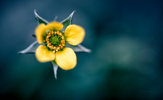 buttery (Simon[L]) Tags: buttercup flower float bokeh yellow star pentagram helios44 extensiontubes weed