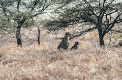Cheeta and cub (xenonmac) Tags: namibia africa south animal etosha palmwag sesfontain zebra elephant lion lioness nikon d200 d600 nikkor 80400 af desert solitaire soussuvleiu 4x4 toyota rhino twelfontain dune sand spritzkoppe damaraland skeleton coast trail purros walvis bay flamingo national park opuwo epupa falls angola border baobab eliphantus rust puppy giraffa cheeta cubs rocks waterfall gnu kudu antilope moon landscape otarie cape cross namib