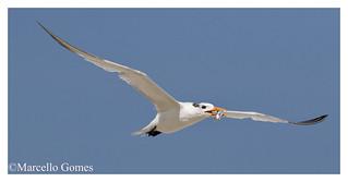 Royal Tern (Thalasseus maximus) ROYT - Bringing home the bacon…or smoked-fish as you prefer:)