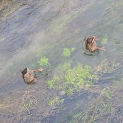 Synchronized swimming (Mi-Fo-to) Tags: ducks street photography synchronizedswimming synchro animal nature urban context fishing snorkeling oche pesca natura nuoto sincronizzato
