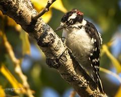 Downy Woodpecker (Immature Male) (wfgphoto) Tags: downywoodpecker smack hit tree momentofimpact immature male