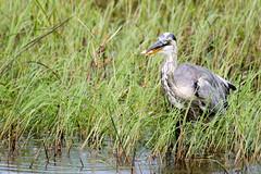 500_4550 (saxman2a) Tags: fish fisheating heron greatblueheron