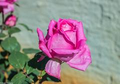 Rose / Rosa (Drako Douglas) Tags: rose rosa flower flor garden jardim sol sun morning manhã nature natureza home casa pink brasil brazil canon canont6i t6i teamcanon