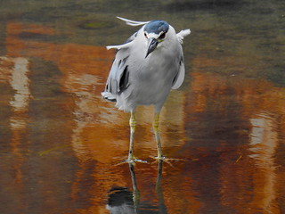 Black-Crowned Night Heron ('auku'u)