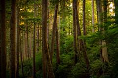 Golden Evening (Ar'alani) Tags: capefalcon oregon oregoncoast sunset forest oswaldweststatepark hiking trail