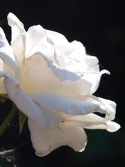 Rose flower in garden. (kyliepics) Tags: flower gardenplant rose olympus e520 evolt520 olympuszuikodigital70300mmf4056
