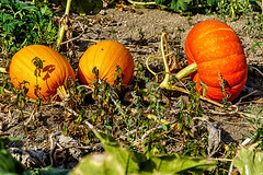 Harvest Time (rtenny) Tags: agriculture crop cucurbita fall farm flora food fruit garden gourd grass gray halloween leaf nature outdoor pasture patch plant produce pumpkin season squash squashvine thanksgiving vegetable wintersquash saffig rhinelandpalatinate germany de
