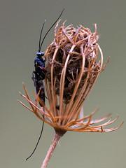 Wiese_5 (Gerhard Menzel) Tags: nature natur nikond850 macro makro wildlife insect insekten ichneumon schlupfwespe