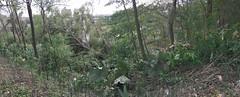 Typhoon-Downed Trees (sjrankin) Tags: 7september2018 5september2018 typhoon winds typhoon21 park tree fallen kitahiroshima hokkaido japan
