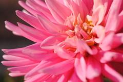 Dahlia (degreve.sarah) Tags: flower rose colored