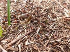 Behaarde rode bosmier - Formica rufa (Alta alatis patent) Tags: behaarde rode bosmier formicarufa ants nest red ameland