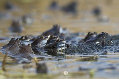 Common Frogs (nikodemmatuszkiewicz) Tags: wildlife wild wildlifephotography wildlifebeauty wildanimals nature noncaptive naturespectacle animals animalphotography animalplanet animal amphibians frogs frog commonfrog