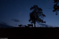 Night Cows (Oleh Zavadsky) Tags: leicax2 leicaimages leica leicaxseries австрія austria ніч night санктвольфґанґ leicax nightlife sanktwolfgang gemeindesanktwolfgangimsalzk oberösterreich gemeindesanktwolfgangimsalzkammergut at