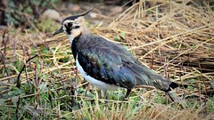Lapwing (doranstacey) Tags: nature wildlife birds waterbirds lapwing rspb oldmoor reserve tamron 150600mm nikon d5300