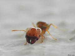 Pheidole pallidula (Geminiature Nature+Landscape Photography Mallorca) Tags: pheidolepallidula pheidole ants hormigas mieren mallorca raynox raynox250 dcr dcr250 soldier major soldado soldaat mediterráneo gewone dikkop cabezona cabeza mandíbulas kaken jaws myrmicinae formicidae head kop