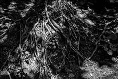 tree_roots-1_B&WHDR_Dehaze (old_hippy1948) Tags: