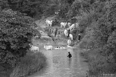 Crossing a River (Irene Becker) Tags: africa arewa blackafrica fulanipeople imagesofnigeria irenebecker kaduna kadunastate nigeria nigerianimages nigerianphotos northnigeria westafrica cattle fulani northernnigeria