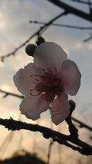 flor de durazno (Lucky Trinket) Tags: durazno
