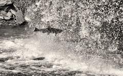 'Compelled' No. 2 (Canadapt) Tags: salmon jumping spawn waterfall bw midair splash manitoulin canadapt