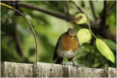 European Robin (Erithacus Rubecula) (andymoore732) Tags: europeanrobin erithacusrubecula ukbirds woodland urbanandsuburban farmland grey cream buff brown red orange white yellow nikon d500 nikon600mmf4e andymoore